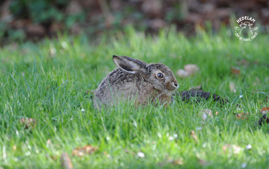 hare hedelam