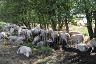 naturpleje med får