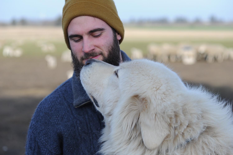 beskytter husdyr mod ulve