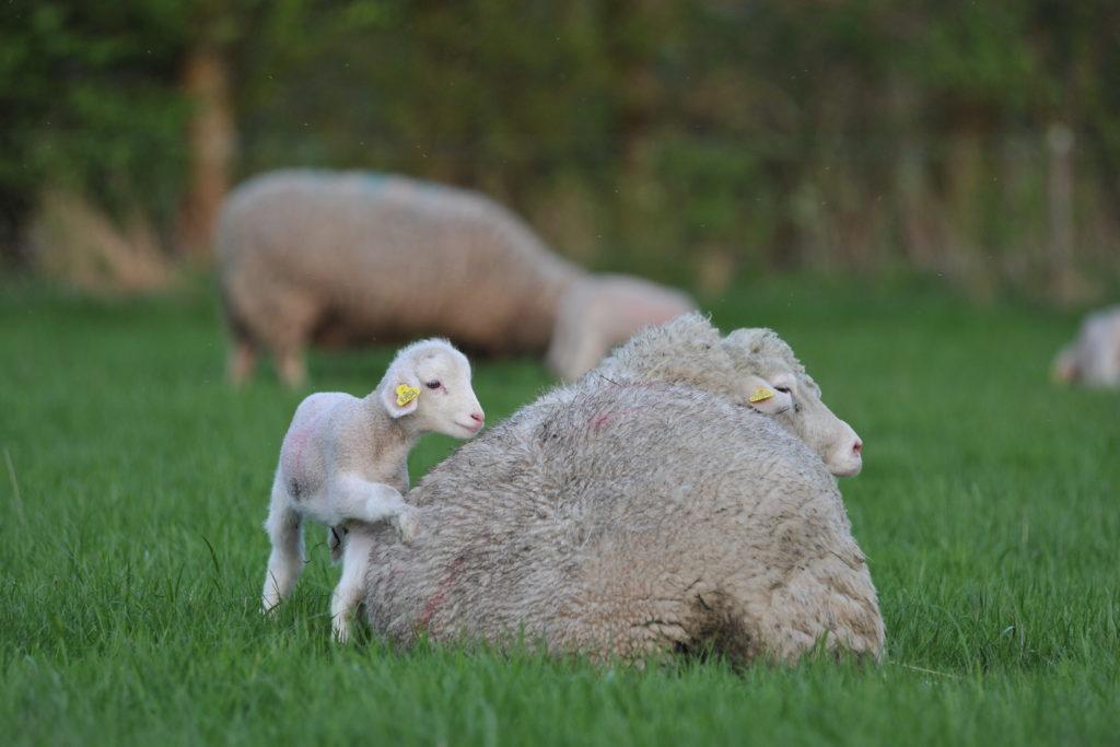Opmærksomhedskrævende lam