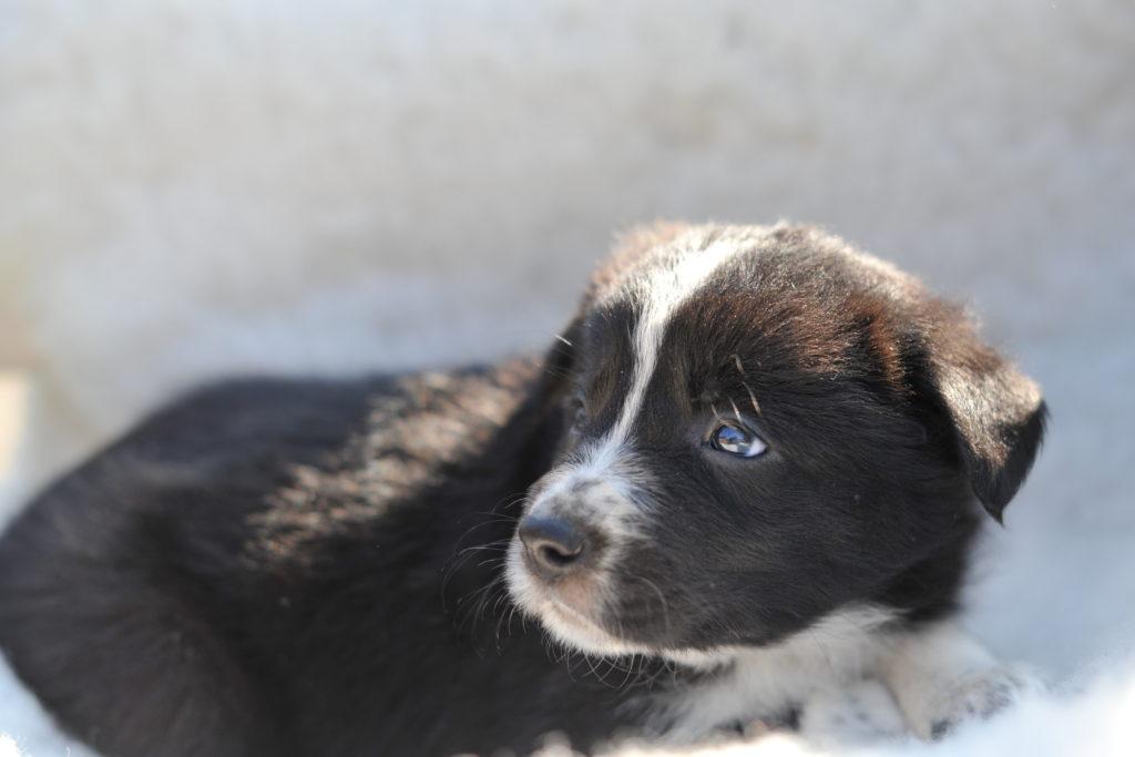 hunde border collie