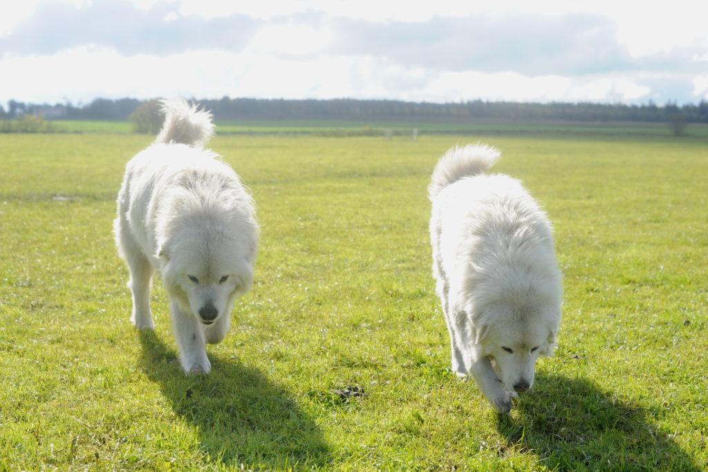 Ida og Dan vogterhunde