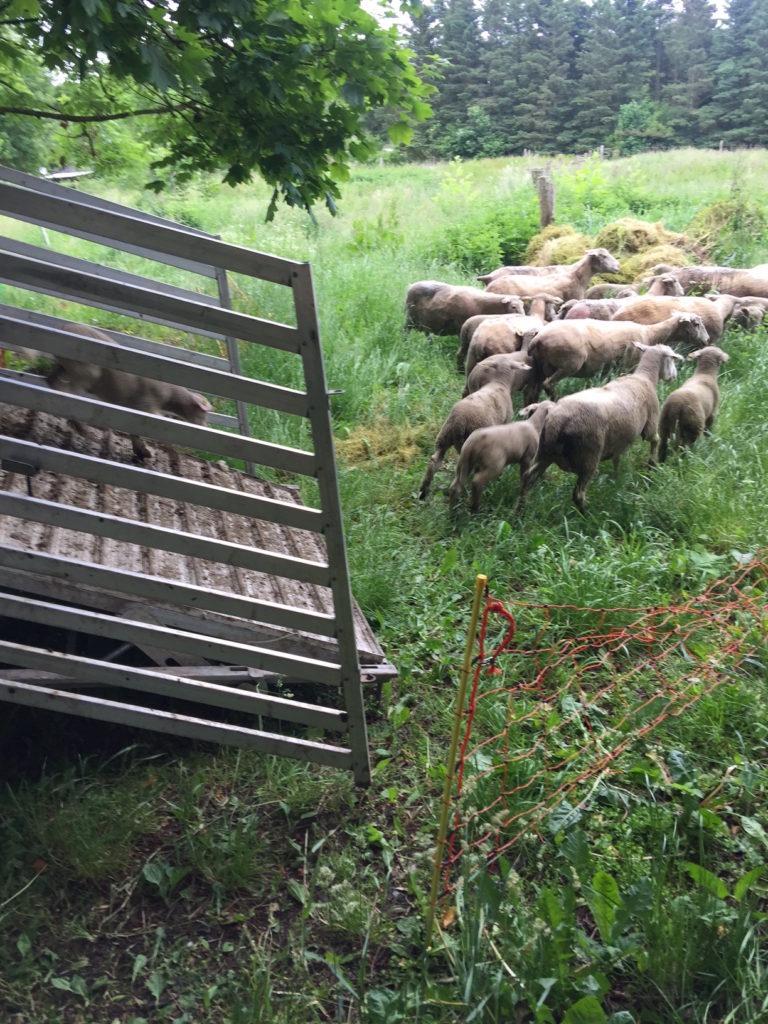 Afgræsning med får