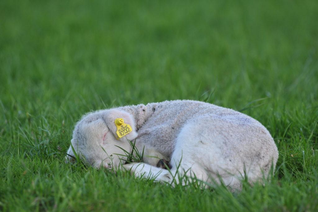 Træt lam